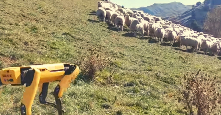 This Boston Dynamics robot herds flock of sheep in New Zealand